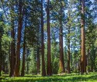 Sekwoi drzewo w lesie Obraz Royalty Free