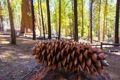 Sekwoi sosny rożek makro- w Yosemite Mariposa gaju Zdjęcie Royalty Free