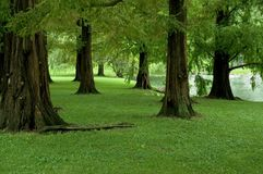 sekwoi świtu drzewa Obraz Stock