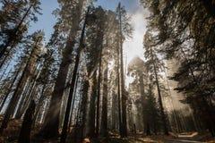 Sekwoja Krajowy Mgłowy las Zdjęcie Stock