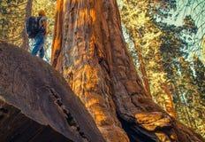 Sekwoja lasu eksploracja Zdjęcie Royalty Free