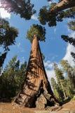 Sekwoja parka narodowego Gigantyczne sekwoje Zdjęcie Stock