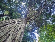 Sekwoja tropikalny drzewny widok spod spodu Fotografia Royalty Free