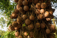 Sel d'Inde, guianensis de Couroupita plus de 40 ans Le sel T Images stock