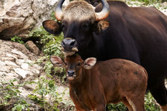 Seladang. Mother gaur (Seladang) and puppy in rain forest, Thailand Stock Image