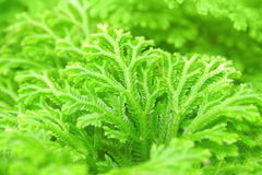 Selaginella Royalty Free Stock Photo