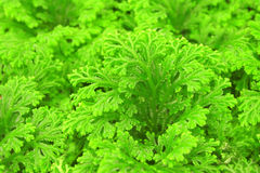 Selaginella royalty free stock photography