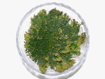 Selaginella Fotos de Stock