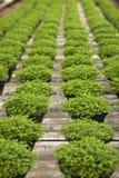Selaginella apoda in row Stock Images