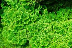 Selaginella Apoda (SELAGINELLACEAE) Στοκ Φωτογραφία