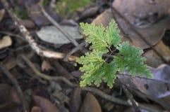 Selaginella argentea Lizenzfreie Stockfotografie