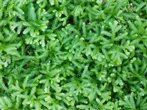 Selaginella erythropus Royalty Free Stock Photos