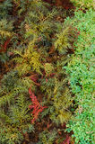 Selaginella erythropus,Spike Moss family in fern sheds Royalty Free Stock Image