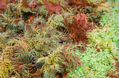 Selaginella erythropus,Spike Moss family in fern sheds Stock Photo