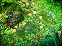 Selaginella erythropusMart. Spring Royalty Free Stock Photo
