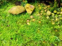 Selaginella erythropusMart. Spring Stock Image