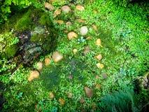 Selaginella erythropusMart Wiosna Zdjęcie Royalty Free
