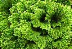 Selaginella fern close up, spike moss background. Selaginella fern close up, spike moss background stock image
