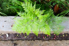 Selaginella or fern Royalty Free Stock Photography