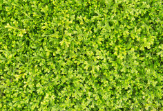 Selaginella fern on top view Stock Photos