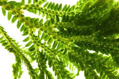 Selaginella, florist tropical moss Stock Photography