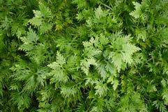 Selaginella involvens fern Royalty Free Stock Photo
