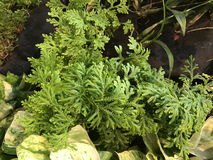 Selaginella kraussiana or Spikemoss plant. Stock Image