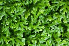 Selaginella kraussiana. Spreading Clubmoss or Selaginella kraussiana for background use Royalty Free Stock Photos