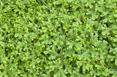 Selaginella kraussiana ( Trailing Selaginella ) Stock Image