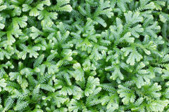 Selaginella kraussiana Royalty Free Stock Photos
