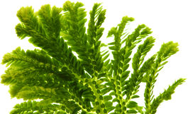 Selaginella, mousse tropicale de fleuriste Images libres de droits