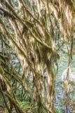 Selaginella Oregana Slowly Taking Over Tree Branches. Selaginella Oregana, also known as Oregon Spikemoss, Slowly Taking Over Tree Branches Stock Photo