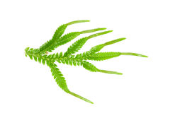 Selaginella with strobilus royalty free stock photography