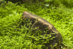 selaginella uncinata and stone Royalty Free Stock Images