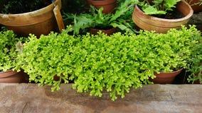 Selaginella vert dans Sofia Botanical Garden photos stock