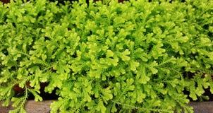 Selaginella vert dans Sofia Botanical Garden images stock
