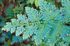 Selaginella Wildenowii - fougère de paon Image stock