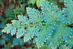 Selaginella Wildenowii - fougère de paon Image stock