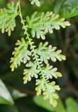 Selaginella Wildenowii - Peacock Fern Royalty Free Stock Images