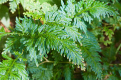 Selaginella Wildenowii - Peacock Fern Stock Photography