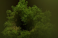 Selaginella willdenowii in the House Decor (LED Lighting). Stock Photos