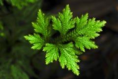 Selaginellaen också som är bekant som spikemoss, är en krypa växt med arkivfoto