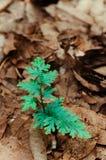 Selaginellawilldenowii of Willdenow ` s spikemoss of Pauwvaren Stock Foto's