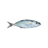 Selar crumenophthalmus ,Bigeye scad ,fish isolated on white back. Ground , with clipping path Stock Photos