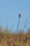 selasphorus rufus hummingbird rufous Стоковые Изображения RF
