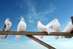 Selbst erzeugte Tauben lizenzfreie stockfotografie