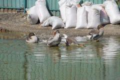 Selbst gemachte graue Gans Die graue Gans ist inländisch Selbst gemachte Gänse in einem künstlichen Teich Stockfoto