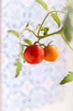 Selbst gemachte Tomate auf einer Niederlassung Stockfoto
