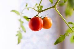 Selbst gemachte Tomate auf einer Niederlassung Lizenzfreies Stockfoto
