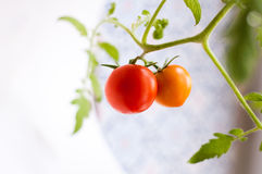 Selbst gemachte Tomate auf einer Niederlassung Lizenzfreie Stockbilder